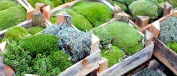 Как правильно пересадить мох